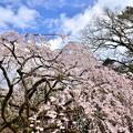 Photos: 2019_0324_141454 近衛桜