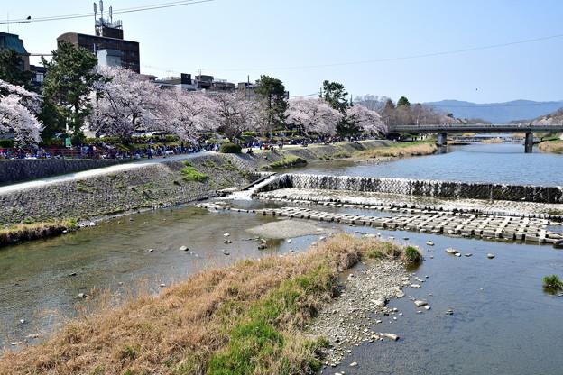 2019_0406_135812 鴨川のお花見