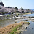 Photos: 2019_0406_135812 鴨川のお花見