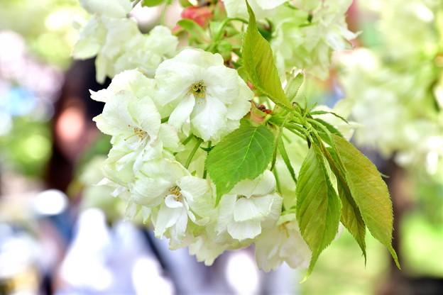 2017_0416_135406 造幣局の黄桜