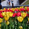 Photos: 2019_0413_141035 咲いた咲いたチューリップの花が♪