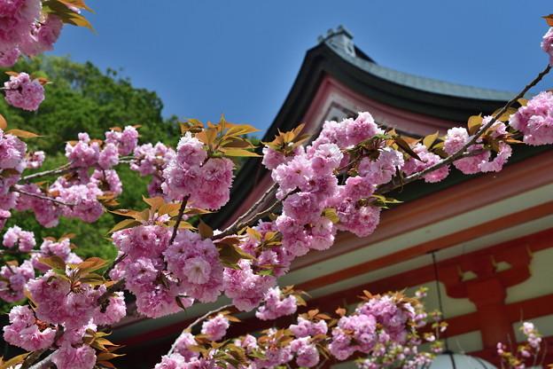 2019_0502_114800 金堂横の桜