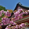Photos: 2019_0502_114800 金堂横の桜