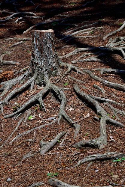 2019_0502_121704 木の根道の木自体も・・・