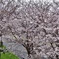 Photos: 2020_0329_155505 桜