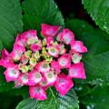 2020_0612_111856 紫陽花