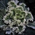 Photos: 葉牡丹
