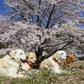 写真: サクラ満開 花わんこ