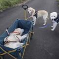写真: 親子で散歩