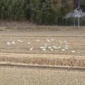 Photos: 田んぼの白鳥