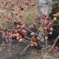 Photos: なかなか咲かない