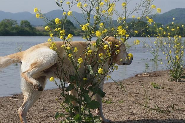 川原の菜の花