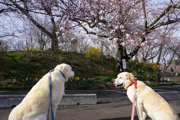 桜の咲きはじめ