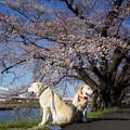 桜とモデル犬