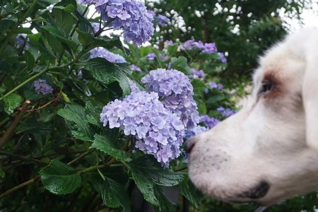 紫陽花わんこ