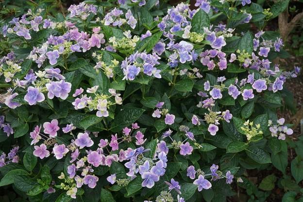 紫陽花「こんぺいとう」