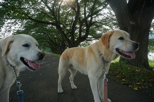 午後散歩は桜並木で