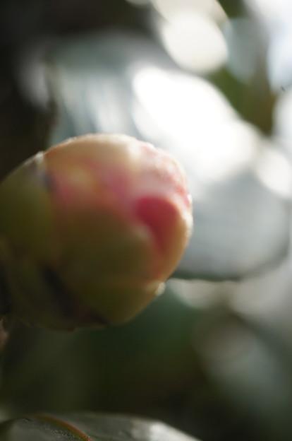 2018.02.10. Camellia bud