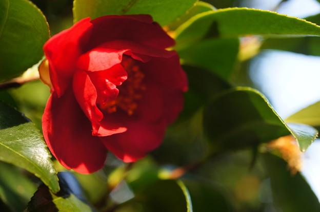 2018.02.10. Camellia