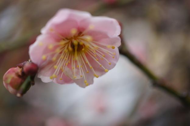 2018.02.11. plum blossom