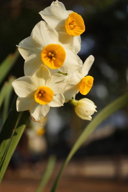 2018.02.24. Narcissus