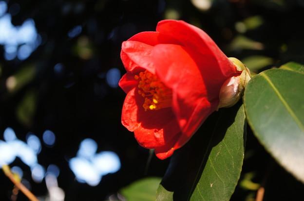 2018.02.24. Camellia