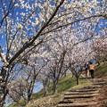 Photos: 河原城の梅林