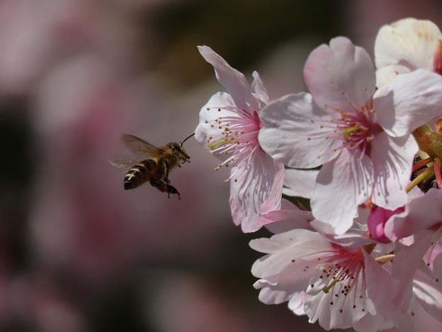 河津桜に蜜蜂