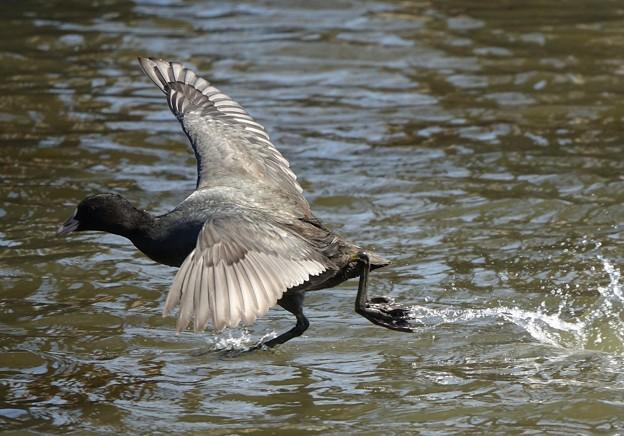 水面を走って逃げる 2