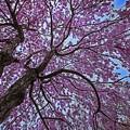 写真: 舞櫻花