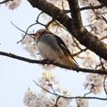写真: コムクドリ・桜