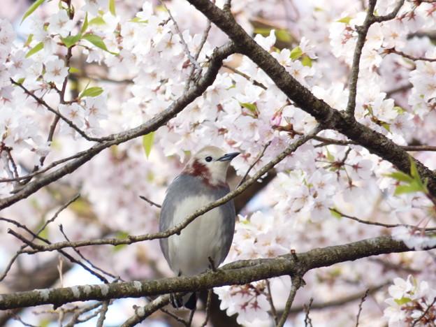 コムクドリ・桜2