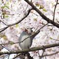写真: コムクドリ・桜2