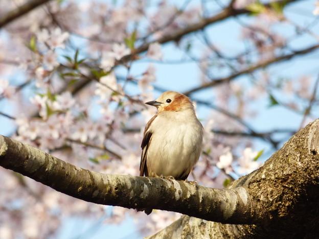 コムクドリ・桜3