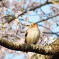 写真: コムクドリ・桜3