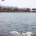 白鳥の花見