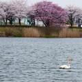 Photos: オオハクチョウ、桜