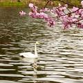 オオハクチョウ、桜3