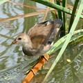 Photos: バン幼鳥