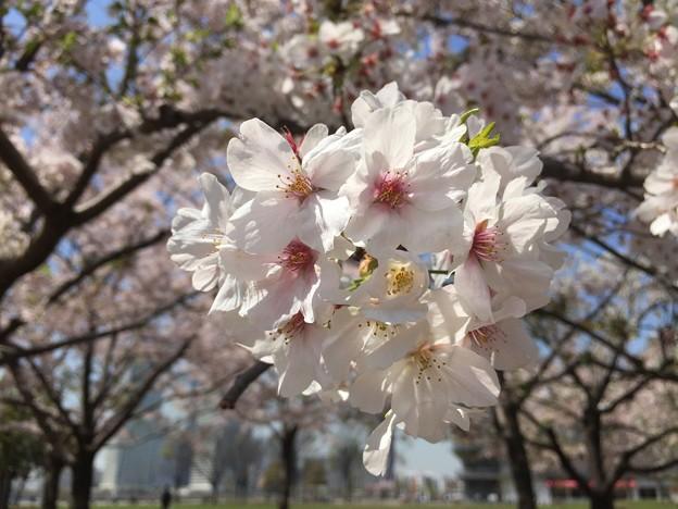 写真: 近所のソメイヨシノ01