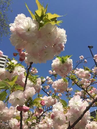 近所の八重桜01