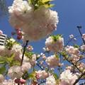 写真: 近所の八重桜01