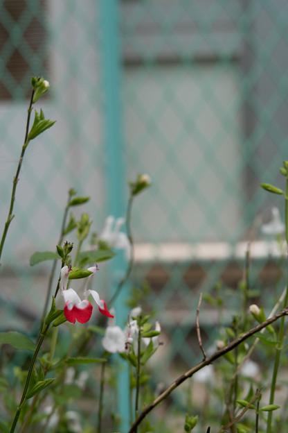 写真: あかしろの花