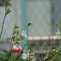 あかしろの花