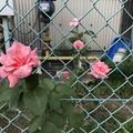 薔薇とフェンス