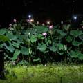 Photos: 夜の蓮
