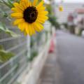 Photos: ひまわり