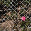 花とフェンス