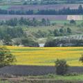 遅咲きのヒマワリ