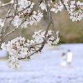 Photos: 想い出のネモフィラと桜